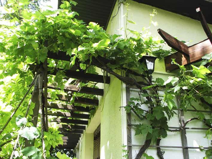 taille de la vigne en juin au jardin de mo et marc. Black Bedroom Furniture Sets. Home Design Ideas
